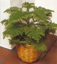 aucaria è una pianta tropicale