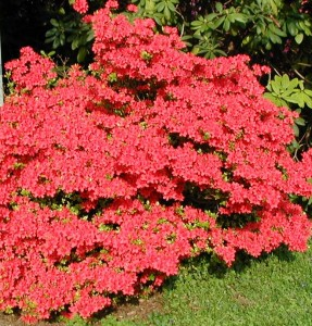 Rododendro cure
