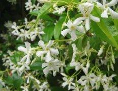 gelsomino pianta rampicante