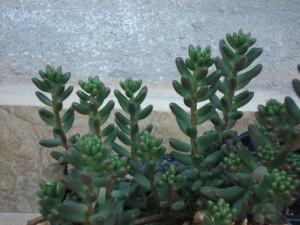 coltivare il sedum