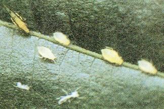 Parassiti - Afidi