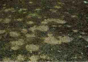Myriosclerotinia Borealis o volgarmente Muffa delle nevi