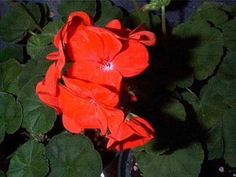 Pelargonium x hortum