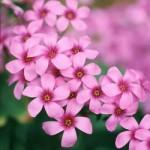 Acetosella rosa