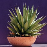 Coltivare l'Agave in vaso