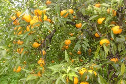 Coltivare agrumi in vaso in autunno giardinaggio piante for Acquistare piante di agrumi