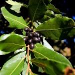 Coltivazione delle piante aromatiche
