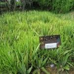 Aloe Vera come coltivare