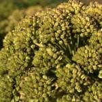 Angelica pianta medicinale