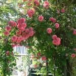 Arco di rose rampicanti