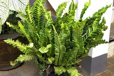 Perfette da coltivare in casa le felci giardinaggio - La felce pianta ...