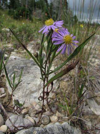 Aster puniceus pi noti come settembrini di palude - Settembrini fiori ...