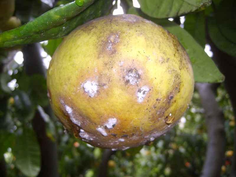Attenzione alla fumaggine un fungo che soffoca la pianta - Malattie limone fumaggine ...