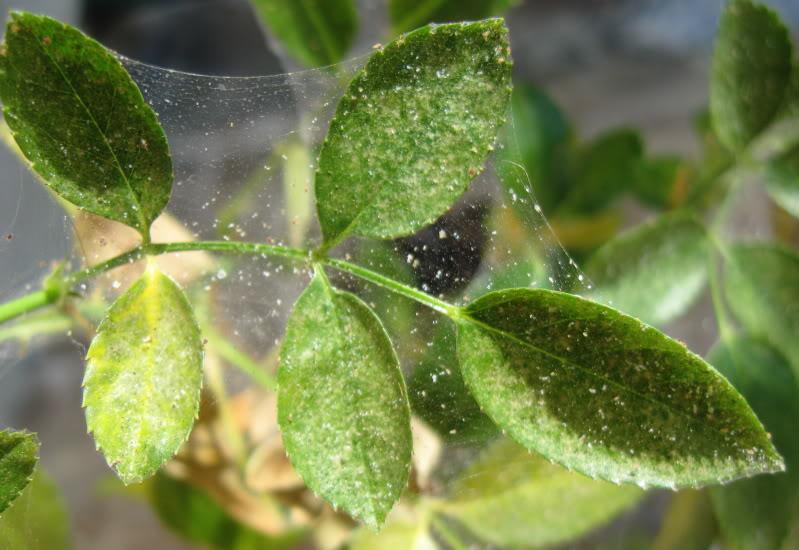 pidocchi sulle piante