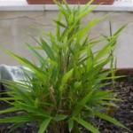 Bambù nano