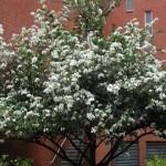 Bauhinia-Variegata-albero