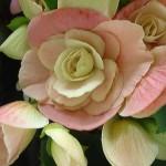 Begonia Gloire de Lorraine