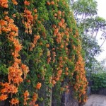 Bignonia grandiflora - sviluppo rampicante