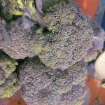 Broccoli di colorazione viola