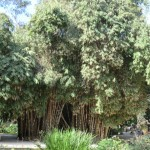 Alcune specie di Bambù possono raggiungere dimensioni notevoli, con altezze che vanno sopra i 10 metri