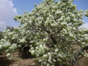 fioritura pero