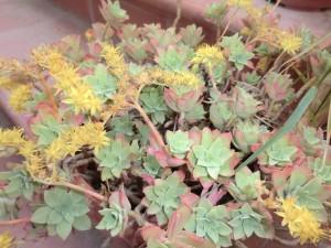 Piante Grasse Con Fiori Gialli.I Sedum Un Genere Di Piante Grasse Di Facile Coltivazione