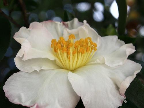 Un fiore invernale la camelia sasanqua giardinaggio for Camelie in vaso