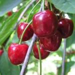 Ciliegi con frutti