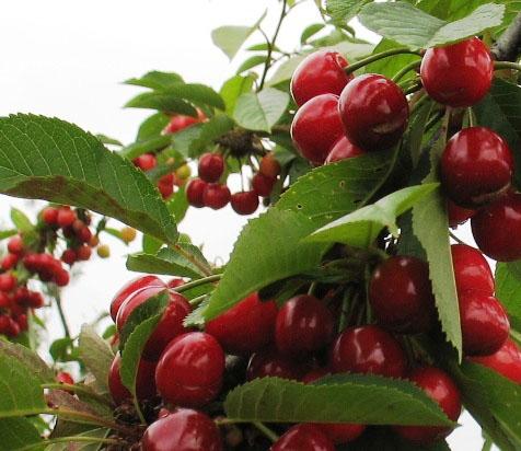 Frutto ciliegio images - Ciliegio da giardino ...