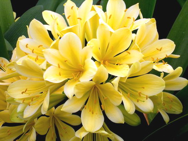 Clivia Good Hope