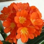 Clivia fiore