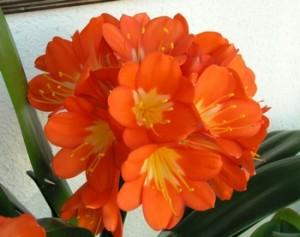 Clivia in fiore