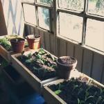 Coltivazione in semenzaio