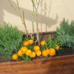 pianta grass