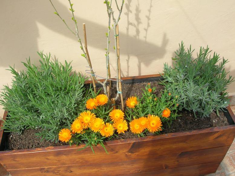 Mesembriantemo: una pianta grassa che non teme caldo e siccità - Giardinaggio Piante e Fiori