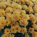 Crisantemi - i fiori di novembre