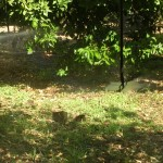 Irrigatori in un agrumeto