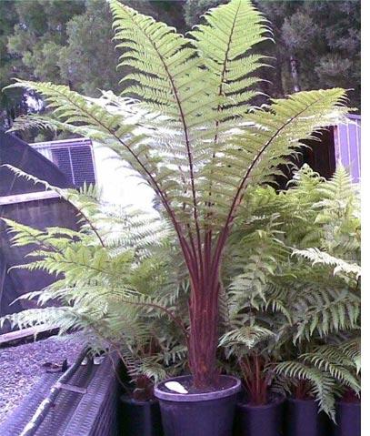 L\'eleganza delle palme da appartamento - Giardinaggio Piante e Fiori