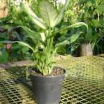 Dieffenbachia exotica