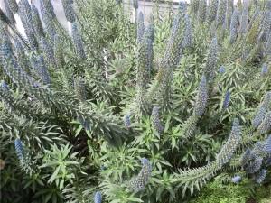 Echium fastuosum, pianta resistente al clima secco