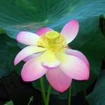 Fiore di Loto - un campione di resistenza al freddo invernale