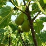 potatura albero frutta