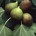 Fico - foglie e frutti