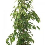 Ficus Gold King