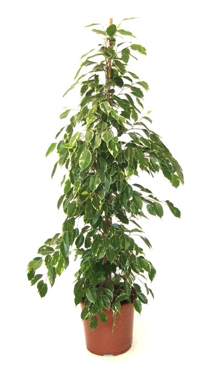Delightful Ficus Gold King