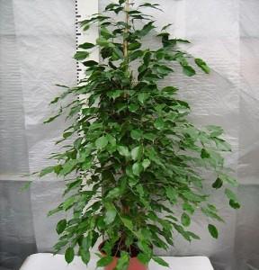 Ficus benjamin exotica