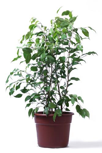 Ficus perfette piante da appartamento giardinaggio for Piante e fiori da appartamento