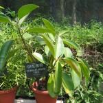 Ficus elastica pianta