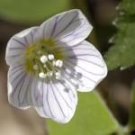 Fiore di Acetosella