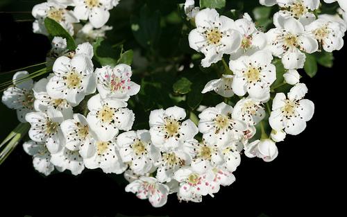 Fiore di Biancospino